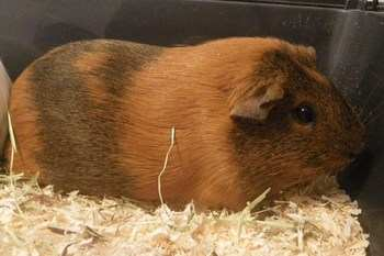 Ruby guinea pig adoption