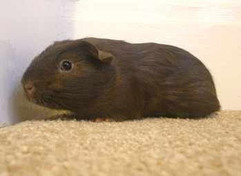 Joe guinea pig adoption