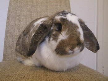 Benjy rabbit adoption Leeds