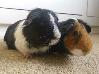Sparkle and Percy guinea pigs