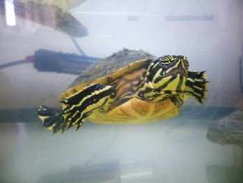 Jenny rescue turtle Yorkshire