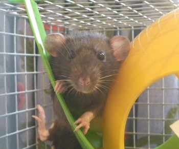 Rescue Fancy Rats1