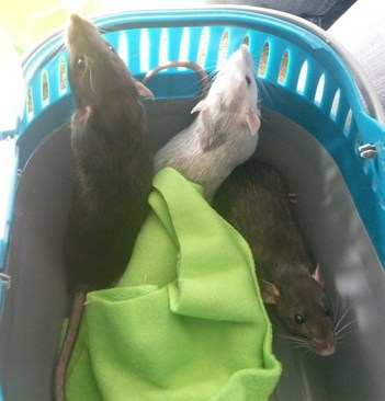 Three rescue rats