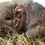 Holly degu