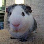 ted guinea pig
