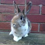 Devon rabbit (3)