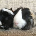 mark and paige guinea pigs (3)