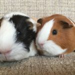tyler and imogen guinea pigs (2)