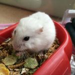 almo hamster (2)