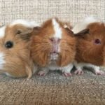aaron lauren and amber guinea pigs