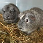 george and peter guinea pigs (4)