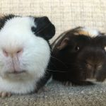 kevin and bob guinea pigs