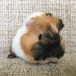 ted guinea pig (1)