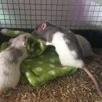 eight rat group (8)