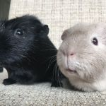 jasper and jane guinea pigs (3)