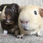 andy and lee guinea pigs (2)