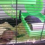 Female gerbils rehoming adoption leeds
