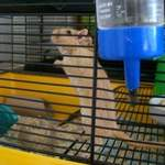 golden male gerbil rehoming