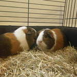 Maizie guinea pig and daughter