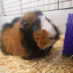 Kirsty guinea pig rescue