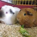 William and Christian rescue guinea pigs