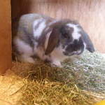 Cabbage dwarf lop available for adoption