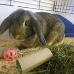 George Dwarf Lop Rabbit
