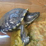 Henry Red eared slider terripin
