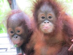 Go on a volunteer holiday to help orangutans