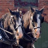 Hop Farm Shire Horse Experience