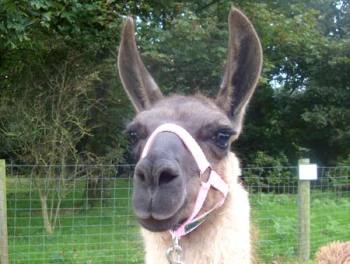 Take a llama for a walk in East Sussex