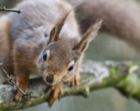 Volunteer for red squirrels