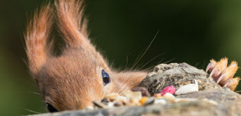Red squirrels need your help!