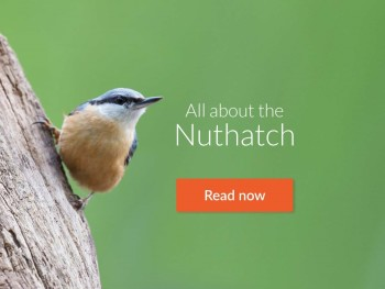 Read all about the Nuthatch