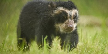 Click here to find out more about this Andean Bear
