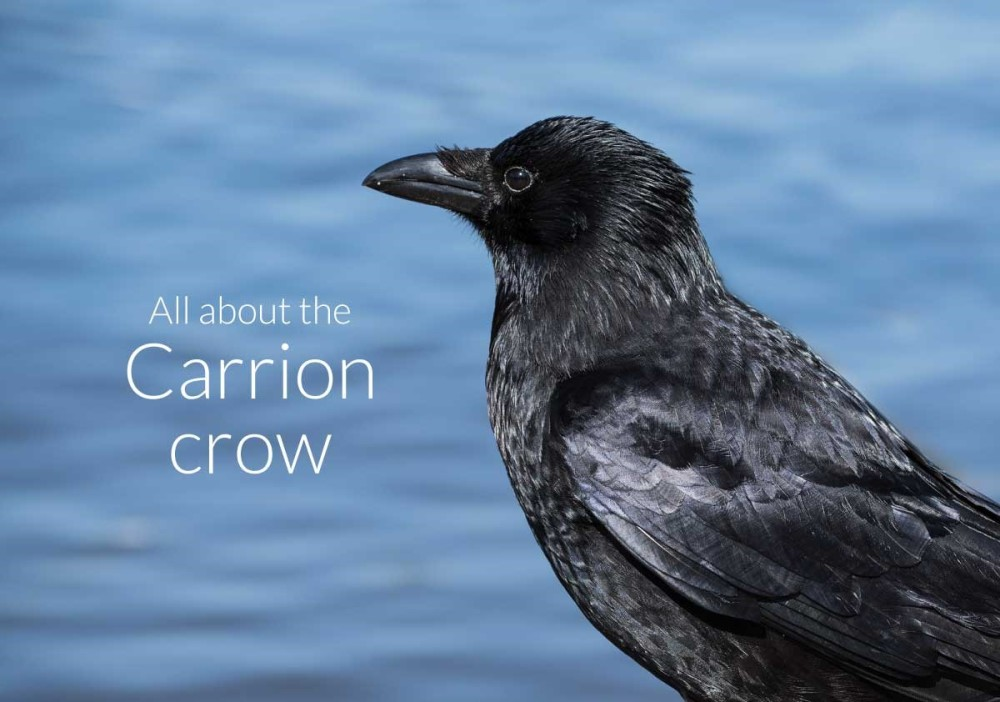 Find out about Carrion Crows