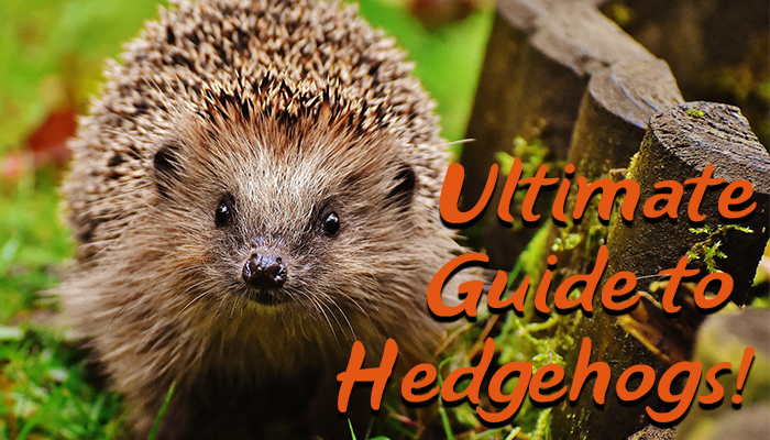 Click here to see the Ultimate Guide to Hedgehogs