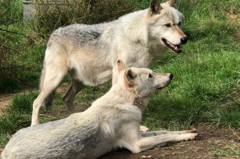 Wolf Encounter and Howl at Dartmoor Zoo