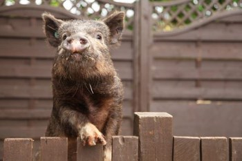 Pig experiences in Buckinghamshire