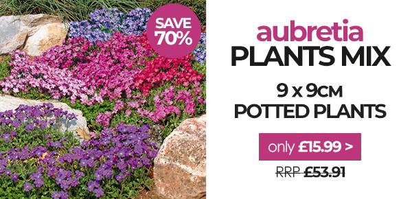 Save 70% on Aubretia