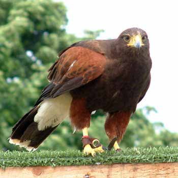 Want to try a falconry experience?  Visit Into the Blue to treat yourself!