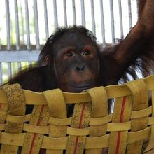 Find out more about Red Ape: Saving the Orangutan