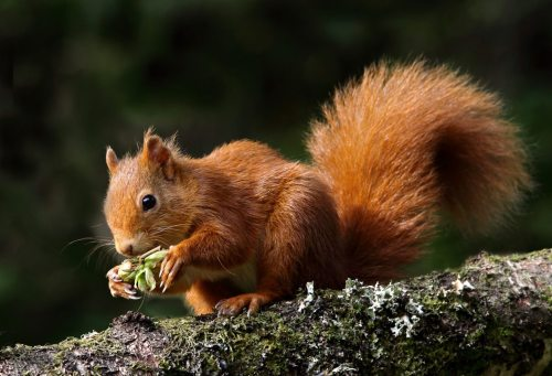 Adopt a Red Squirrel