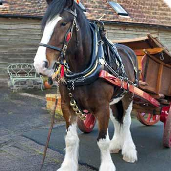 A Shire Horse Experience Day in Shropshire