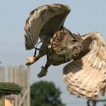 Falconry in Dorset
