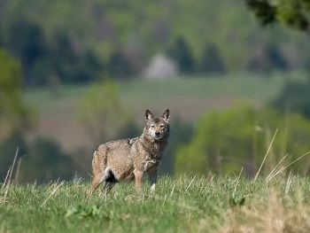 Responsible Travel has a number of wolf holidays on its lists