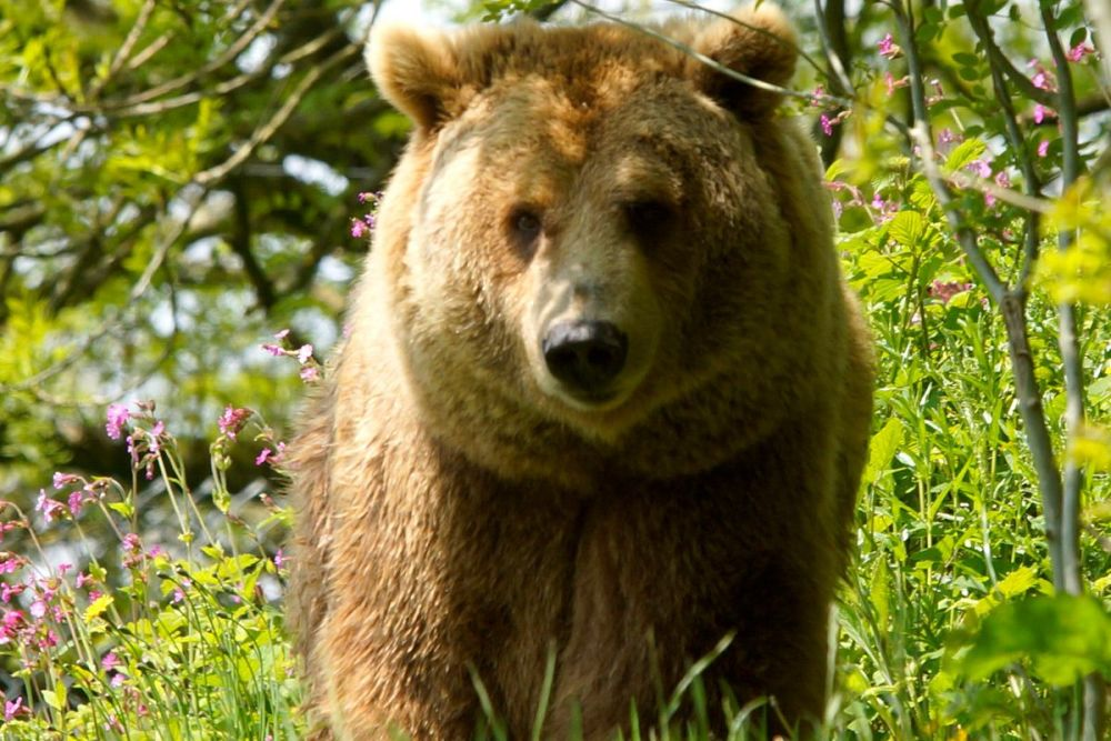 Come and meet Hayley with this Bear Encounter for Two at Dartmoor Zoo