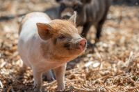 Trot off to Pig Experiences