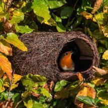 Robin Brushwood Nest from the RSPB