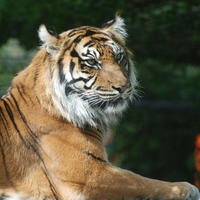 Adopt Lumpur the Sumatran Tiger from ZSL's London Zoo